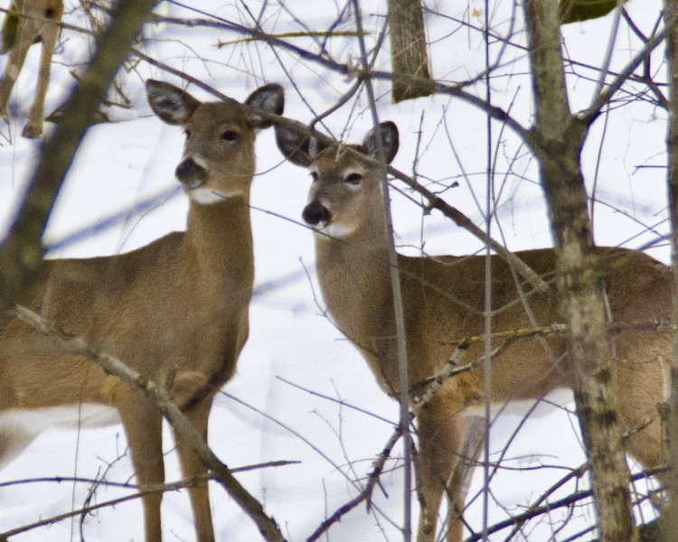Deer in Dundas Valley Ontario